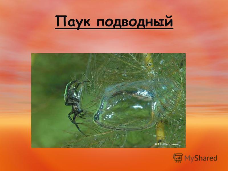 Паук подводный
