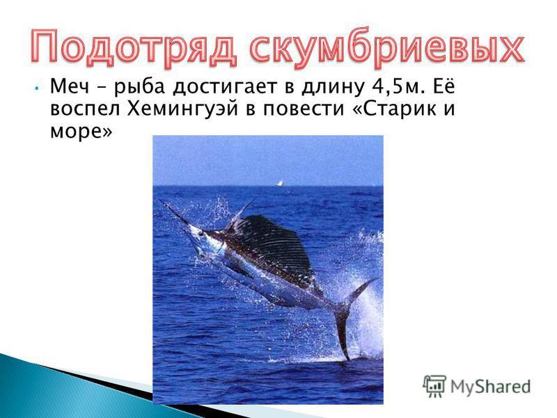 Меч – рыба достигает в длину 4,5 м. Её воспел Хемингуэй в повести «Старик и море»