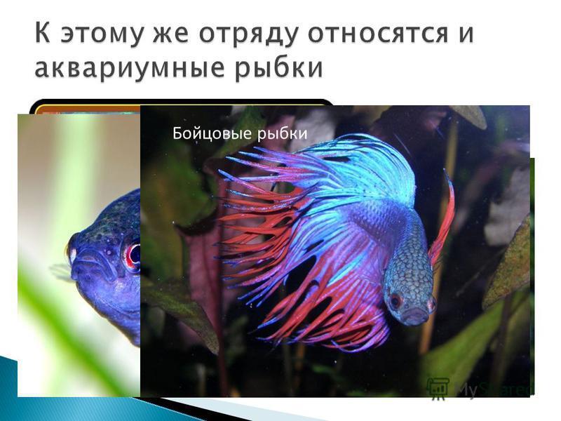 Гурами Лялиус Макропод Бойцовые рыбки