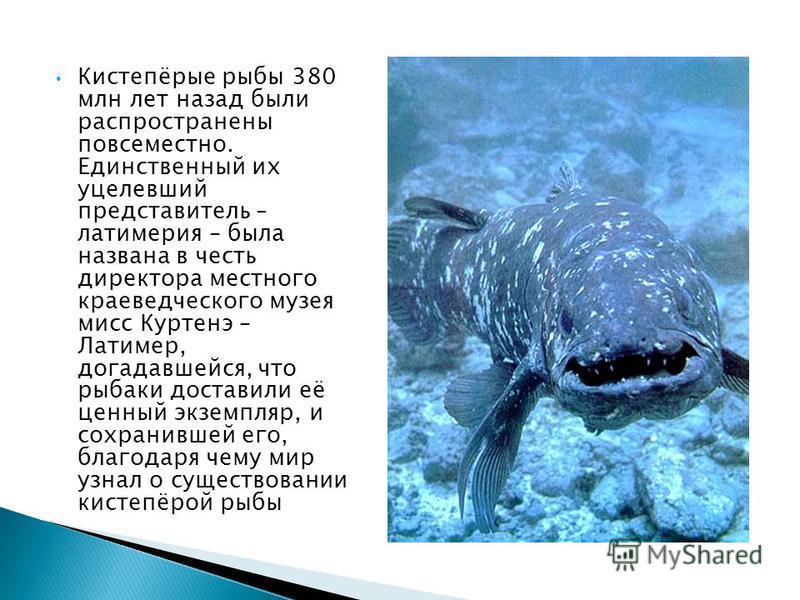 Кистепёрые рыбы 380 млн лет назад были распространены повсеместно. Единственный их уцелевший представитель – латимерия – была названа в честь директора местного краеведческого музея мисс Куртенэ – Латимер, догадавшейся, что рыбаки доставили её ценный