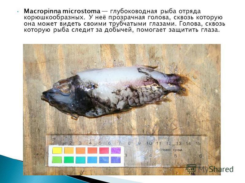 Macropinna microstoma глубоководная рыба отряда корюшкообразных. У неё прозрачная голова, сквозь которую она может видеть своими трубчатыми глазами. Голова, сквозь которую рыба следит за добычей, помогает защитить глаза.