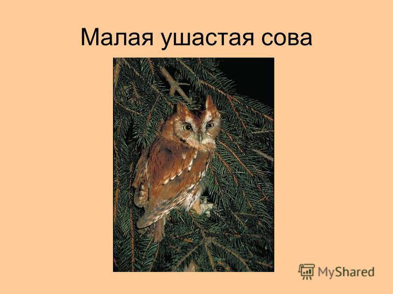Малая ушастая сова