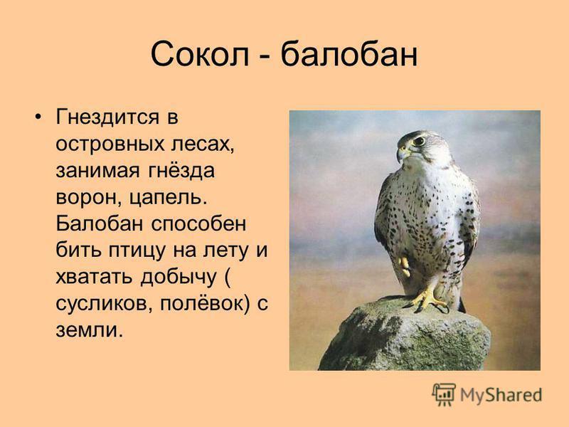 Сокол - балабан Гнездится в островных лесах, занимая гнёзда ворон, цапель. Балобан способен бить птицу на лету и хватать добычу ( сусликов, полёвок) с земли.
