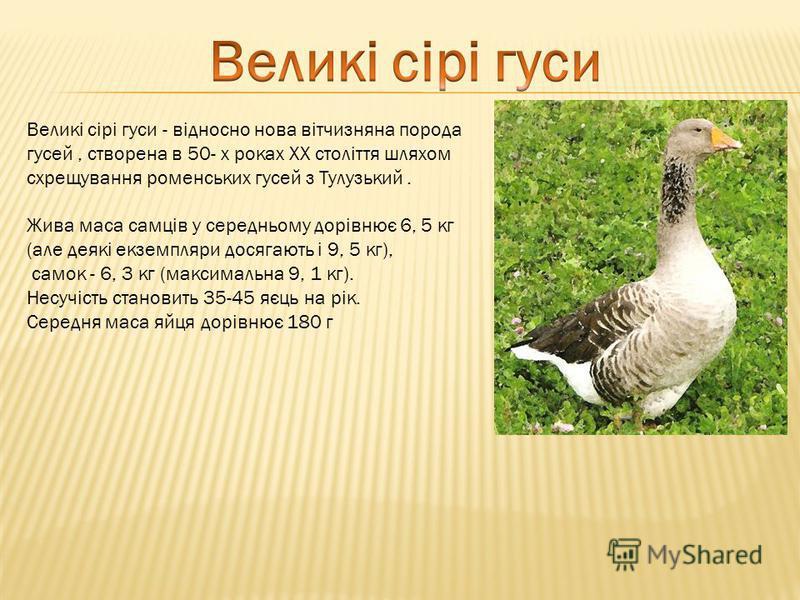 Великі сірі гуси - відносно нова вітчизняна порода гусей, створена в 50- х роках XX століття шляхом схрещування роменських гусей з Тулузький. Жива маса самців у середньому дорівнює 6, 5 кг (але деякі екземпляри досягають і 9, 5 кг), самок - 6, 3 кг (