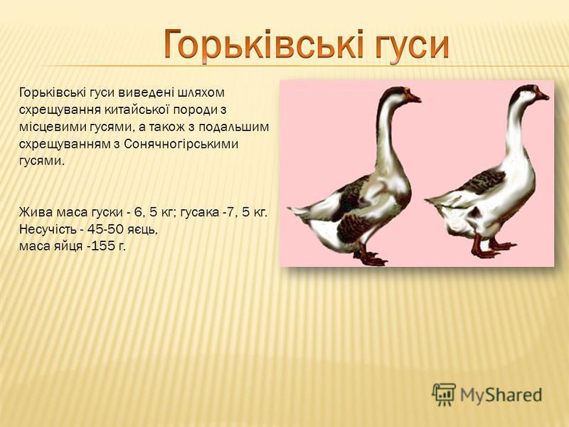 Горьківські гуси виведені шляхом схрещування китайської породи з місцевими гусями, а також з подальшим схрещуванням з Сонячногірськими гусями. Жива маса гуски - 6, 5 кг; гусака -7, 5 кг. Несучість - 45-50 яєць, маса яйця -155 г.
