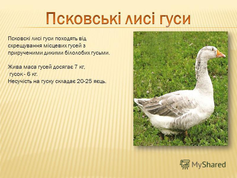 Псковскі лисі гуси походять від схрещування місцевих гусей з прирученими дикими білолобих гусьми. Жива маса гусей досягає 7 кг, гусок - 6 кг. Несучість на гуску складає 20-25 яєць.