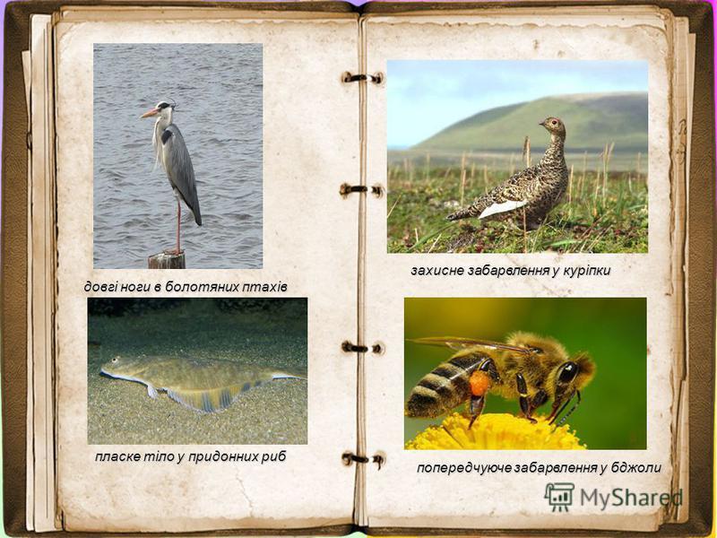 довгі ноги в болотяних птахів пласке тіло у придонних риб захисне забарвлення у куріпки попередчуюче забарвлення у бджоли