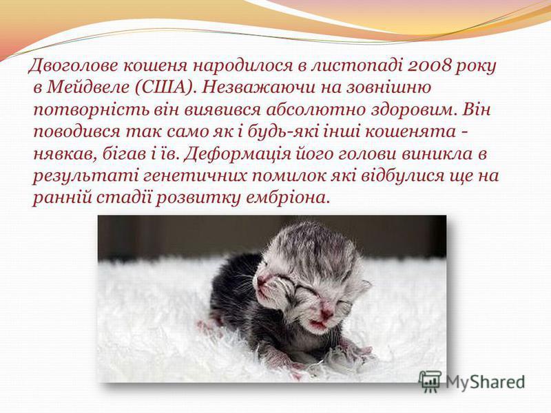 Двоголове кошеня народилося в листопаді 2008 року в Мейдвеле (США). Незважаючи на зовнішню потворність він виявився абсолютно здоровим. Він поводився так само як і будь-які інші кошенята - нявкав, бігав і їв. Деформація його голови виникла в результа