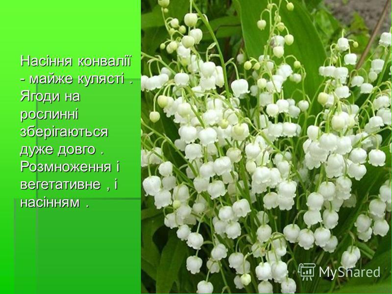 Насіння конвалії - майже кулясті. Ягоди на рослинні зберігаються дуже довго. Розмноження і вегетативне, і насінням. Насіння конвалії - майже кулясті. Ягоди на рослинні зберігаються дуже довго. Розмноження і вегетативне, і насінням.
