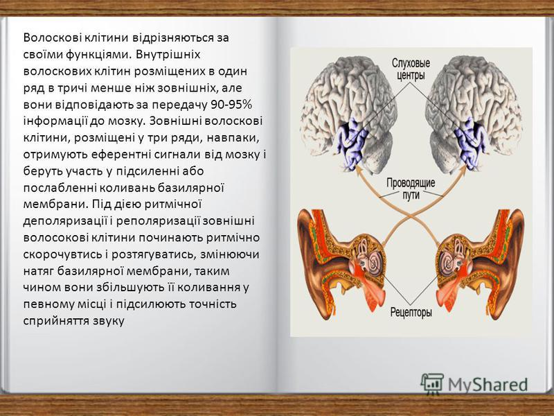 Волоскові клітини відрізняються за своїми функціями. Внутрішніх волоскових клітин розміщених в один ряд в тричі менше ніж зовнішніх, але вони відповідають за передачу 90-95% інформації до мозку. Зовнішні волоскові клітини, розміщені у три ряди, навпа