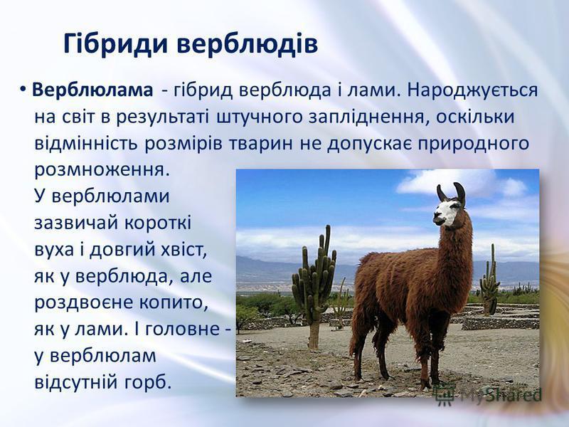 Верблюлама - гібрид верблюда і лами. Народжується на світ в результаті штучного запліднення, оскільки відмінність розмірів тварин не допускає природного розмноження. У верблюлами зазвичай короткі вуха і довгий хвіст, як у верблюда, але роздвоєне копи