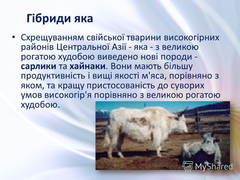 Схрещуванням свійської тварини високогірних районів Центральної Азії - яка - з великою рогатою худобою виведено нові породи - сарлики та хайнаки. Вони мають більшу продуктивність і вищі якості м'яса, порівняно з яком, та кращу пристосованість до суво