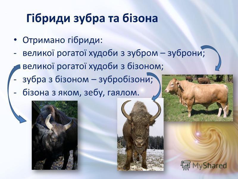 Отримано гібриди: -великої рогатої худоби з зубром – зуброни; -великої рогатої худоби з бізоном; -зубра з бізоном – зубробізони; -бізона з яком, зебу, гаялом. Гібриди зубра та бізона