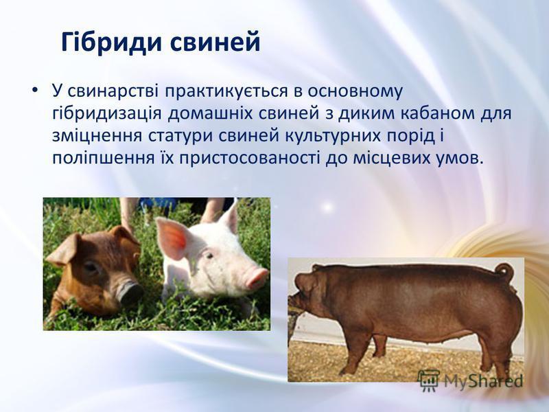 У свинарстві практикується в основному гібридизація домашніх свиней з диким кабаном для зміцнення статури свиней культурних порід і поліпшення їх пристосованості до місцевих умов. Гібриди свиней