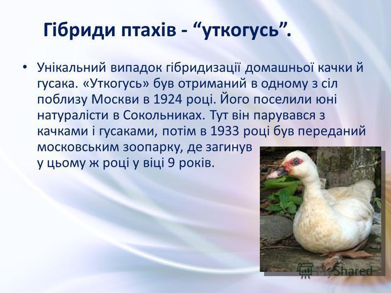 Унікальний випадок гібридизації домашньої качки й гусака. «Уткогусь» був отриманий в одному з сіл поблизу Москви в 1924 році. Його поселили юні натуралісти в Сокольниках. Тут він парувався з качками і гусаками, потім в 1933 році був переданий московс