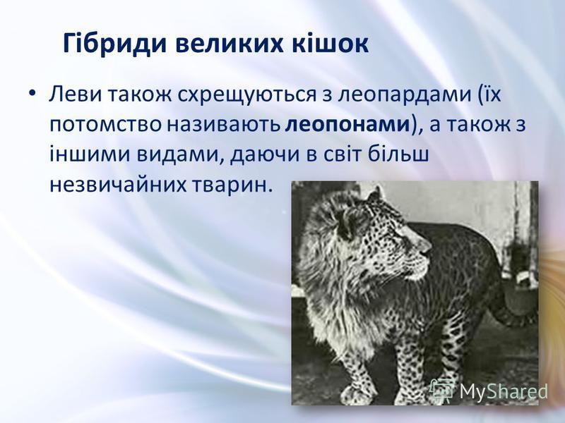 Леви також схрещуються з леопардами (їх потомство називають леопонами), а також з іншими видами, даючи в світ більш незвичайних тварин. Гібриди великих кішок