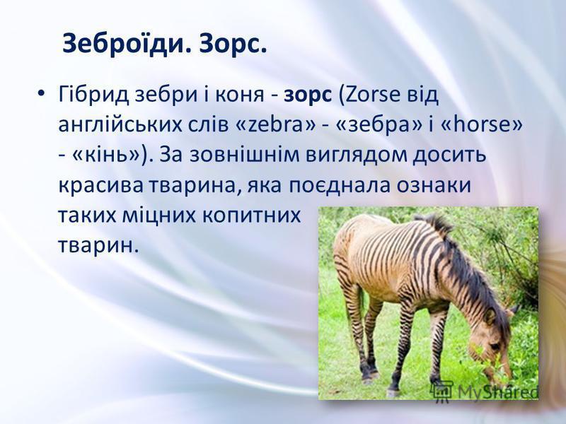 Гібрид зебри і коня - зорс (Zorse від англійських слів «zebra» - «зебра» і «horse» - «кінь»). За зовнішнім виглядом досить красива тварина, яка поєднала ознаки таких міцних копитних тварин. Зеброїди. Зорс.