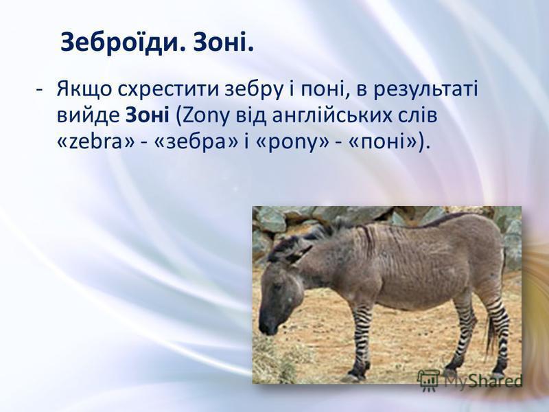 -Якщо схрестити зебру і поні, в результаті вийде Зоні (Zony від англійських слів «zebra» - «зебра» і «pony» - «поні»). Зеброїди. Зоні.