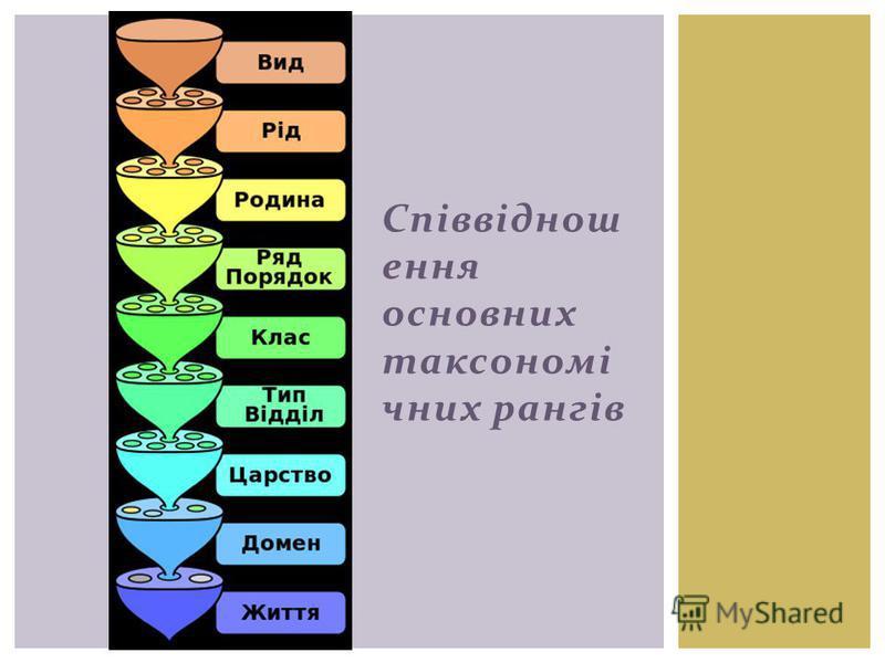 Співвіднош ення основних таксономі чних рангів