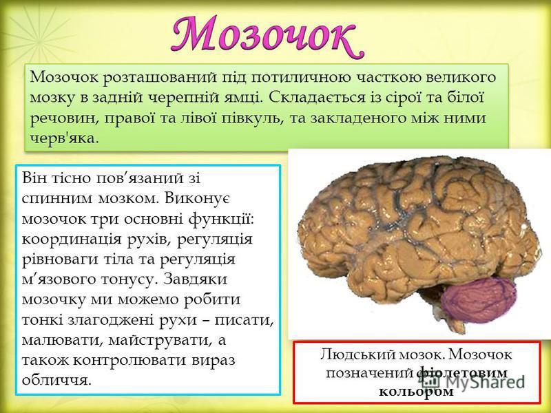 Він тісно повязаний зі спинним мозком. Виконує мозочок три основні функції: координація рухів, регуляція рівноваги тіла та регуляція мязового тонусу. Завдяки мозочку ми можемо робити тонкі злагоджені рухи – писати, малювати, майструвати, а також конт