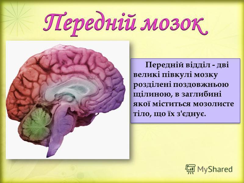 Передній відділ - дві великі півкулі мозку розділені поздовжньою щілиною, в заглибині якої міститься мозолисте тіло, що їх з'єднує.
