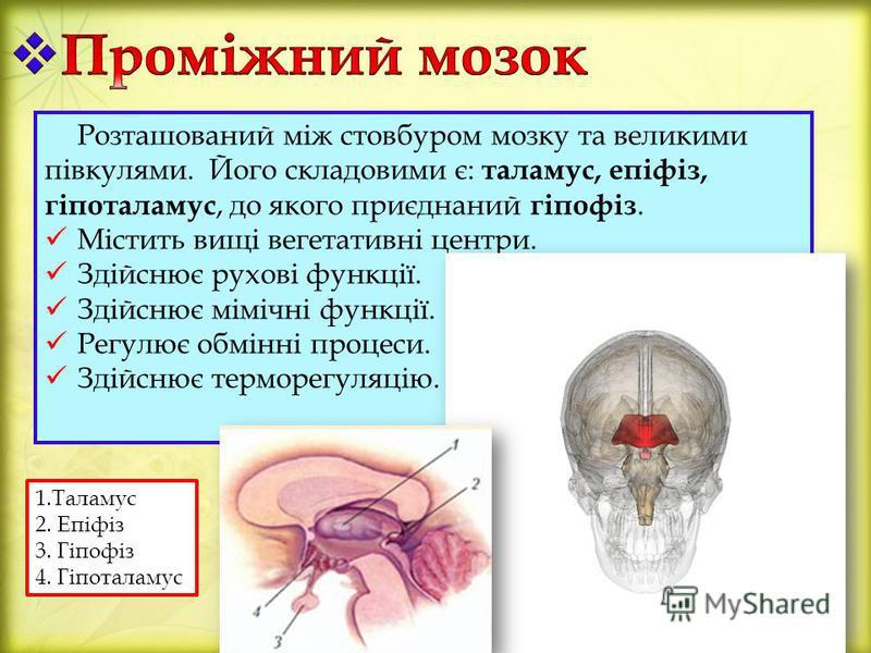 Розташований між стовбуром мозку та великими півкулями. Його складовими є: таламус, епіфіз, гіпоталамус, до якого приєднаний гіпофіз. Містить вищі вегетативні центри. Здійснює рухові функції. Здійснює мімічні функції. Регулює обмінні процеси. Здійсню