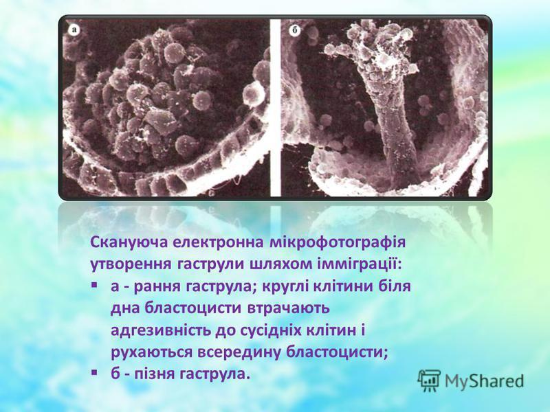 Скануюча електронна мікрофотографія утворення гаструли шляхом імміграції: а - рання гаструла; круглі клітини біля дна бластоцисти втрачають адгезивність до сусідніх клітин і рухаються всередину бластоцисти; б - пізня гаструла.