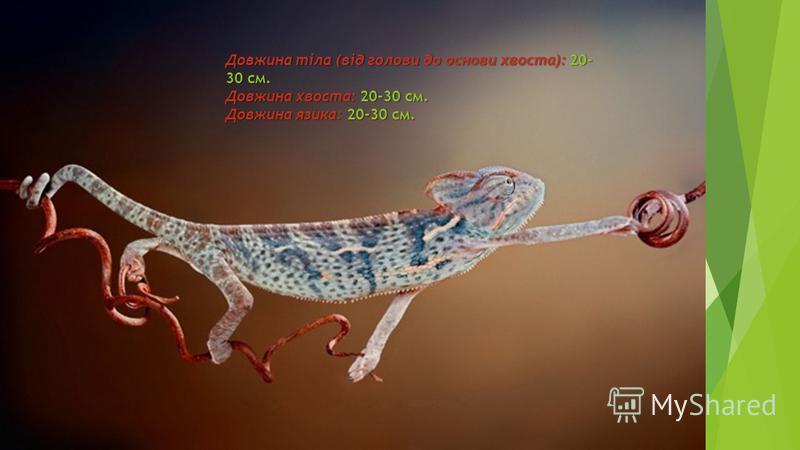 Довжина тіла (від голови до основи хвоста):20- 30 см. Довжина хвоста: 20-30 см. Довжина язика: 20-30 см. Довжина тіла (від голови до основи хвоста): 20- 30 см. Довжина хвоста: 20-30 см. Довжина язика: 20-30 см.