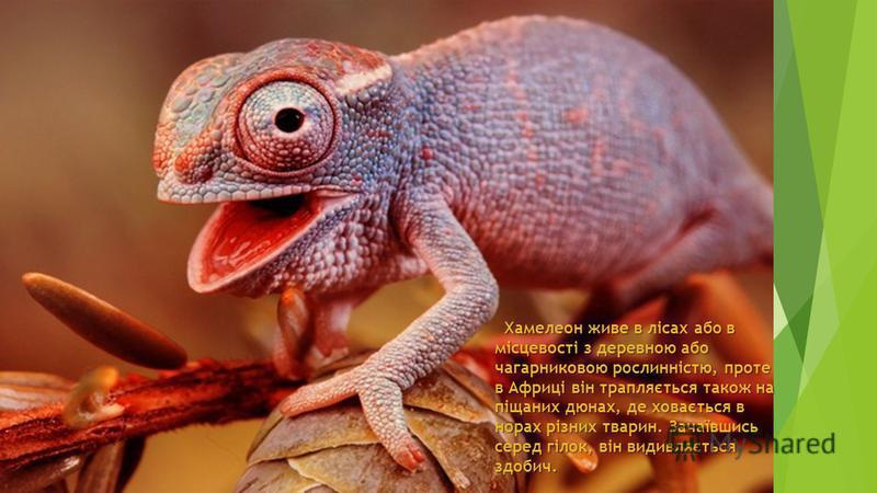 Хамелеон живе в лісах або в місцевості з деревною або чагарниковою рослинністю, проте в Африці він трапляється також на піщаних дюнах, де ховається в норах різних тварин. Зачаївшись серед гілок, він видивляється здобич. Хамелеон живе в лісах або в мі