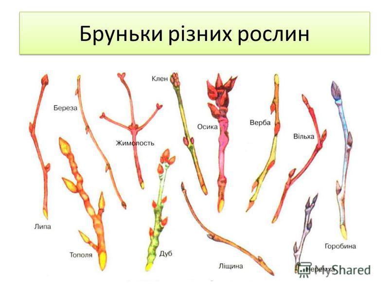 Бруньки різних рослин