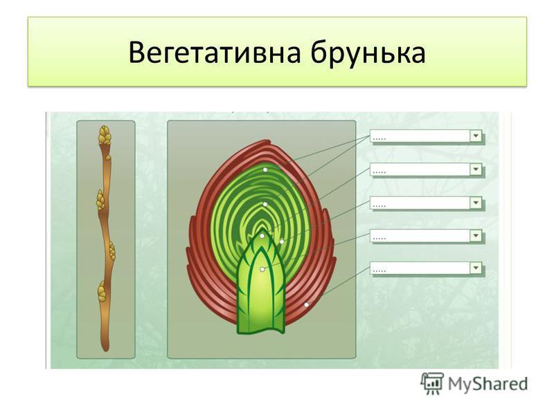 Вегетативна брунька