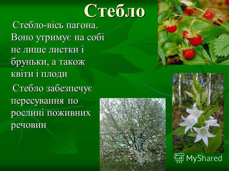 Стебло Стебло-вісь пагона. Воно утримує на собі не лише листки і бруньки, а також квіти і плоди Стебло-вісь пагона. Воно утримує на собі не лише листки і бруньки, а також квіти і плоди Стебло забезпечує пересування по рослині поживних речовин Стебло