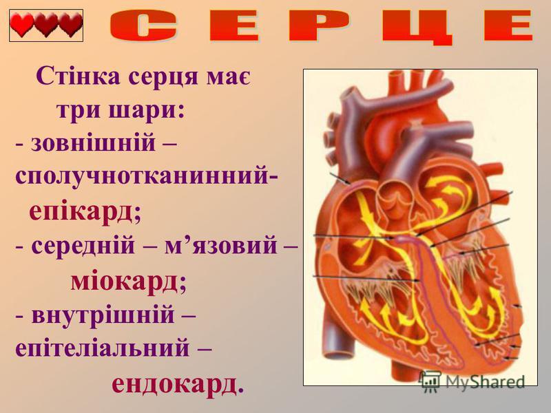 Стінка серця має три шари: - зовнішній – сполучнотканинний- епікард ; - середній – мязовий – міокард ; - внутрішній – епітеліальний – ендокард.
