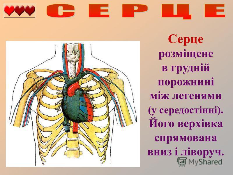 Серце розміщене в грудній порожнині між легенями (у середостінні). Його верхівка спрямована вниз і ліворуч.