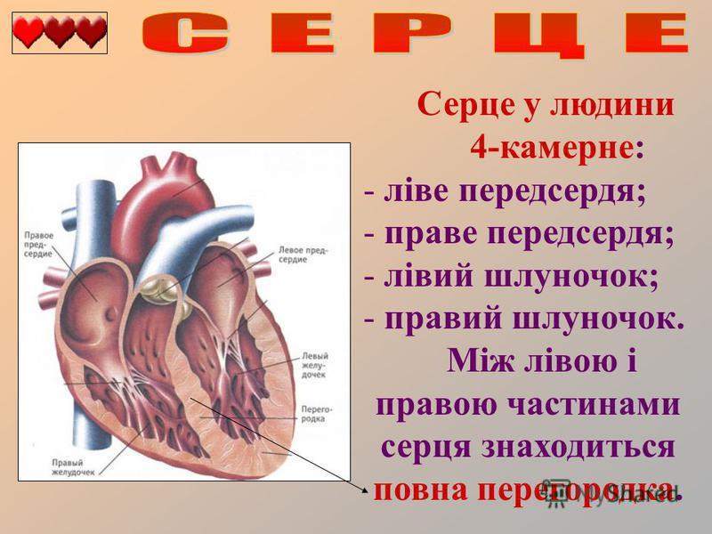 Серце у людини 4-камерне: - ліве передсердя; - праве передсердя; - лівий шлуночок; - правий шлуночок. Між лівою і правою частинами серця знаходиться повна перегородка.