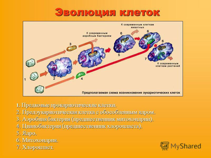 Эволюция клеток 1. Предковые прокариотические клетки. 2. Предэукариотическая клетка с обособленным ядром. 3. Аэробная бактерия (предшественник митохондрии). 4. Цианобактерия (предшественник хлоропласта). 5. Ядро. 6. Митохондрия. 7. Хлоропласт.