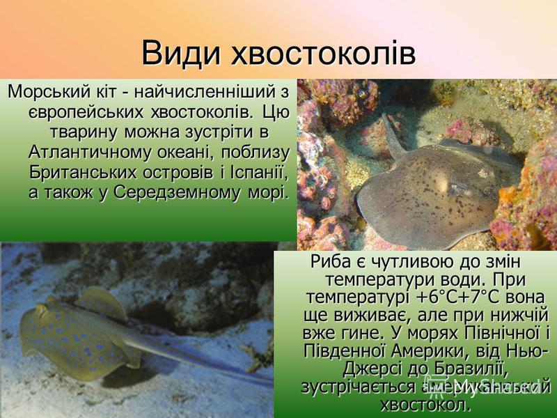 Види хвостоколів Морський кіт - найчисленніший з європейських хвостоколів. Цю тварину можна зустріти в Атлантичному океані, поблизу Британських островів і Іспанії, а також у Середземному морі. Риба є чутливою до змін температури води. При температурі