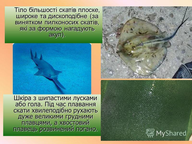 Тіло більшості скатів плоске, широке та дископодібне (за винятком пилконосих скатів, які за формою нагадують акул). Тіло більшості скатів плоске, широке та дископодібне (за винятком пилконосих скатів, які за формою нагадують акул). Шкіра з шипастими
