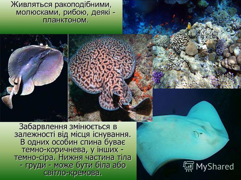 Живляться ракоподібними, молюсками, рибою, деякі - планктоном. Забарвлення змінюється в залежності від місця існування. В одних особин спина буває темно-коричнева, у інших - темно-сіра. Нижня частина тіла - груди - може бути біла або світло-кремова.