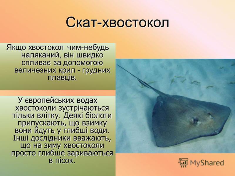 Скат-хвостокол Якщо хвостокол чим-небудь наляканий, він швидко спливає за допомогою величезних крил - грудних плавців. У європейських водах хвостоколи зустрічаються тільки влітку. Деякі біологи припускають, що взимку вони йдуть у глибші води. Інші до
