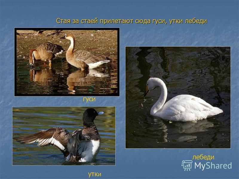 Стая за стаей прилетают сюда гуси, утки лебеди гуси утки лебеди