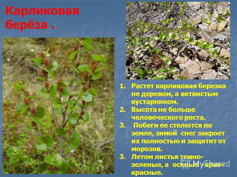 Карликовая берёза. 1. Растет карликовая березка не деревом, а ветвистым кустарником. 2. Высота не больше человеческого роста. 3. Побеги ее стелются по земле, зимой снег закроет их полностью и защитит от морозов. 3. Летом листья темно- зеленые, а осен