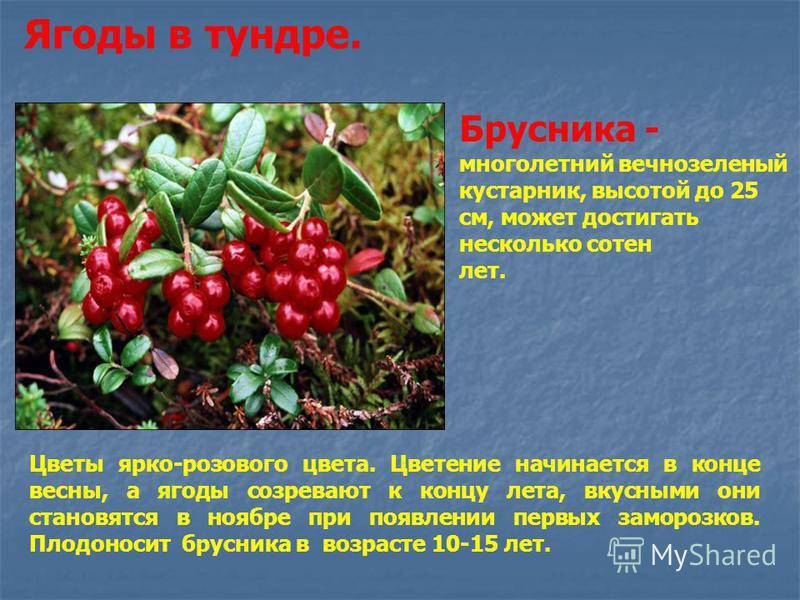 Ягоды в тундре. Брусника - многолетний вечнозеленый кустарник, высотой до 25 см, может достигать несколько сотен лет. Цветы ярко-розового цвета. Цветение начинается в конце весны, а ягоды созревают к концу лета, вкусными они становятся в ноябре при п