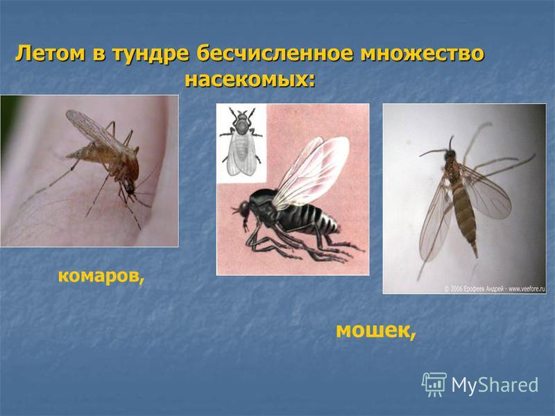 Летом в тундре бесчисленное множество насекомых: комаров, мошек,