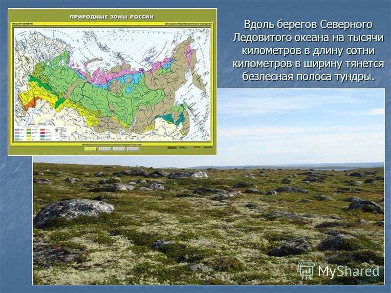 Вдоль берегов Северного Ледовитого океана на тысячи километров в длину сотни километров в ширину тянется безлесная полоса тундры.