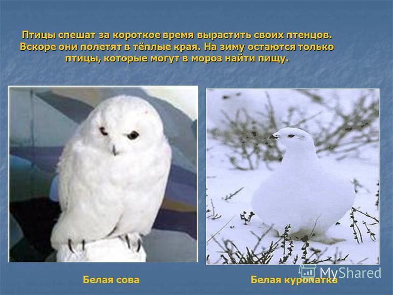 Птицы спешат за короткое время вырастить своих птенцов. Вскоре они полетят в тёплые края. На зиму остаются только птицы, которые могут в мороз найти пищу. Белая сова Белая куропатка