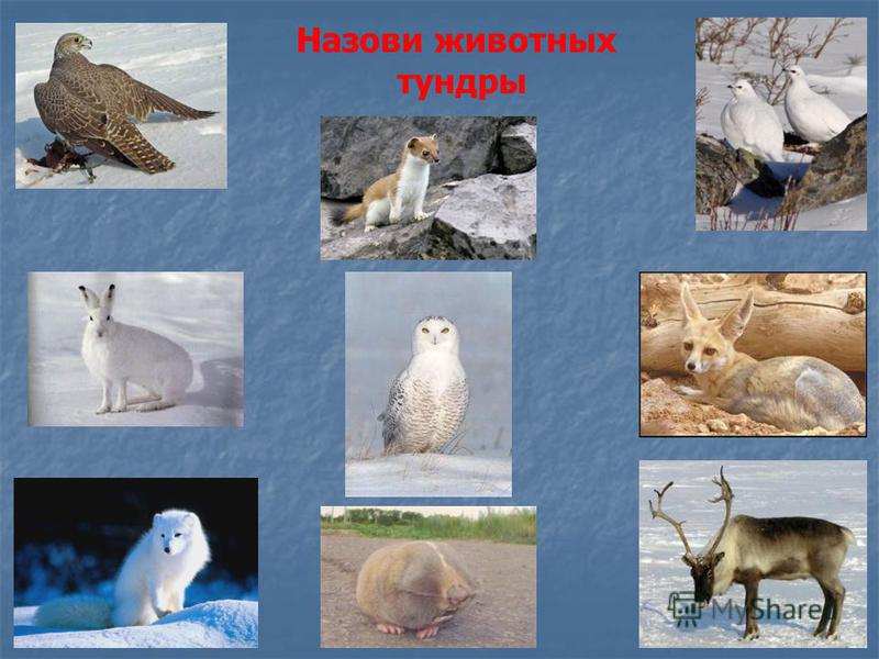 Назови животных тундры