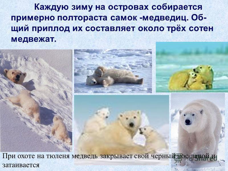 Каждую зиму на островах собирается примерно полтораста самок -медведиц. Об- щий приплод их составляет около трёх сотен медвежат. При охоте на тюленя медведь закрывает свой черный нос лапой и затаивается