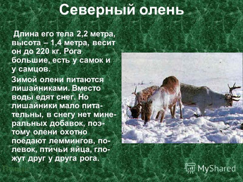Северный олень Длина его тела 2,2 метра, высота – 1,4 метра, весит он до 220 кг. Рога большие, есть у самок и у самцов. Зимой олени питаются лишайниками. Вместо воды едят снег. Но лишайники мало пита- тельный, в снегу нет минеральных добавок, поэтому