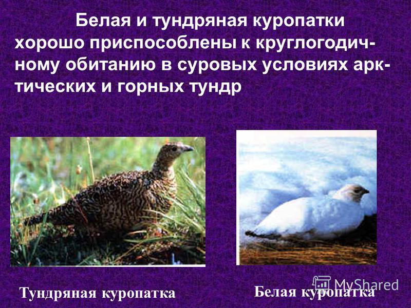 Белая и тундряная куропатки хорошо приспособлены к круглогодично му обитанию в суровых условиях арктических и горных тундр Тундряная куропатка Белая куропатка